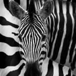 """""""Zebra Mono"""" by scuba"""