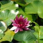 """Pink water lilly"" by travelpix"