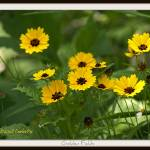 """Brown eyed Susans"" by carleepix"