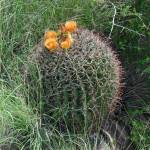 """Barrel Cactus"" by MarksClickArt"