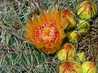 Barrel Cactus Blooms