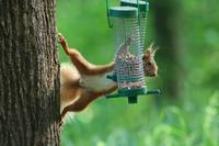 Acrobatic Red Squirrel