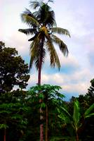 the lone coconut tree.