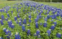 Bluebonnets in a Row