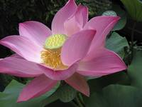 Lotus bloom in garden