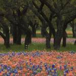"""""""Bluebonnets and Indian Paintbrush"""" by erikpronske"""