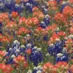 """Bluebonnets and Indian Paintbrush"" by erikpronske"