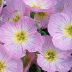 """""""Pink Evening Primroses"""" by erikpronske"""
