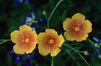 Yellow Flax