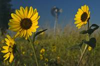 Sunflowers and Windmill