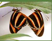 Mating Butterflies