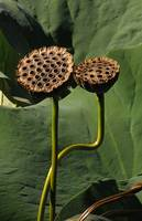 Two Sacred Lotus Pods