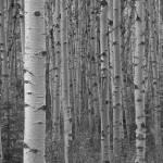 """""""Aspen Forest"""" by fikretonal"""