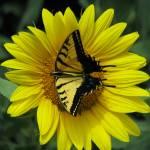 """Swallowtail VIII"" by MarksClickArt"