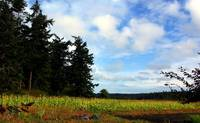 Whidbey Island Corn Field