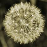 """dandelion"" by Macdonaldj"
