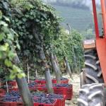 """Grape Harvest"" by JohnAnthonyRizzo"