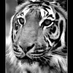 """Juvenille Sumatran Tiger"" by blankcanvasphotography"