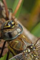 Migrant Hawker Closeup