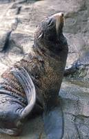 Handsome Sea Lion