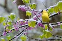 Redbud Goldfinch