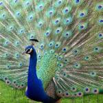 """Peacock on Full Display"" by cariofthevalley"