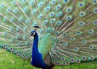 Peacock on Full Display