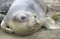 Elephant Seal thoughts