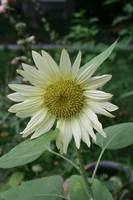 Pale yellow sunflower