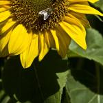"""Sun Flower"" by LieslDayPhotography"
