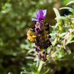 """Busy Bee"" by LieslDayPhotography"