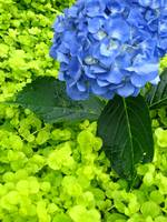 Bouncin Hydrangea in the room