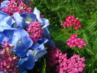Pink and blue natural hydrangea wonders