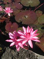 Water Lily in Pink