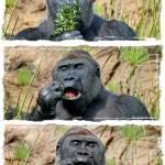 """""""Gorilla gorilla gorilla Triptych"""" by NoIdentity"""