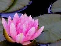 20080611-WaterLilly