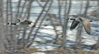 CANADA GEESE FLYING (Branta canadensis)