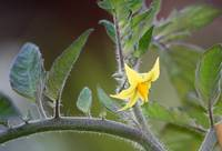 Last Tomato Flower of Summer