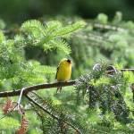 """Goldfinch (IMG_4007)"" by jvandyke"