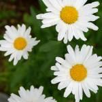 """Daisies"" by stevegarfield"