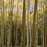 """Turning Aspens"" by soundman2006"