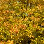 """""""_DSC8722 Wall of Fall Leaves"""" by CooperSlay"""
