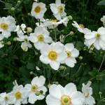 """The white anemones"" by travelpix"