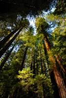 Redwoods are US!