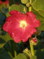 Sun Kissed Hollyhock