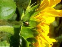 Beatle On Sunflower (close-up)