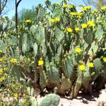 """YELLOW CACTUS"" by claudemarshall"