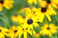 Profusion of Black Eyed Susans