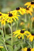 Chorus of Black Eyed Susans