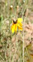 Mexican Hat - Arizona Wildflower